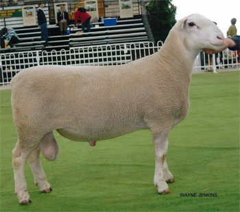 Days Whiteface Studs | White Suffolk Sheep | Poll Hereford