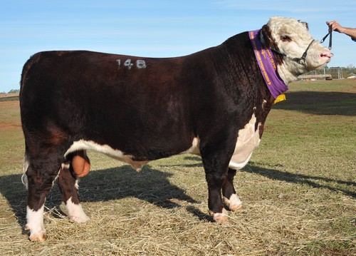 2013 Dubbo Poll Hereford Show and Sale 101 RET