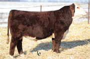 Mr Hereford Days Whiteface Sire